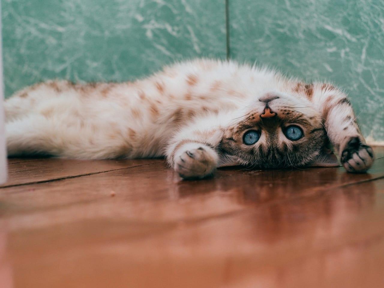 ベンガル ペット保険