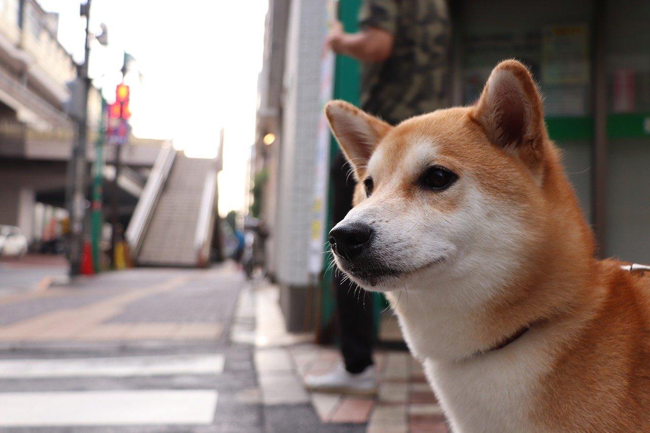 柴犬 ペット保険